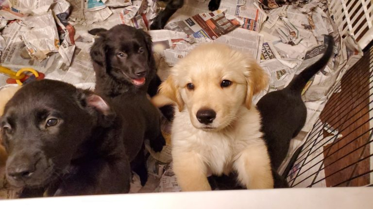 You can help 4 Paws For Ability puppies get started on their service dog journey