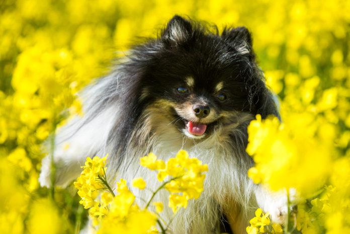 Dog pomeranian and yellow field of rape flowers. Mann Veterinary Clinic. Ohio Barker